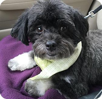 Havanese Mix Dog for adoption in Christiana, Tennessee - Oscar *Bonded Pair*