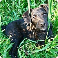 Adopt A Pet :: Sugarplum (RBF) - Spring Valley, NY