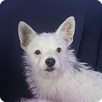Adopt A Pet :: Opie - Las Vegas, NV