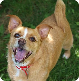 Terrier (Unknown Type, Small)/Chihuahua Mix Dog for adoption in Toronto/Etobicoke/GTA, Ontario - Jacky - family dog!
