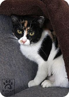 Domestic Shorthair Cat for adoption in Lancaster, Massachusetts - Jill