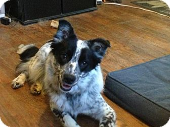 Border Collie Mix Dog for adoption in Jersey City, New Jersey - Keanu Reeves