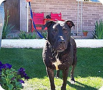 Labrador Retriever Mix Dog for adoption in Glendale, Arizona - Suzy Q