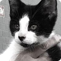 Adopt A Pet :: Brady - Santa Monica, CA