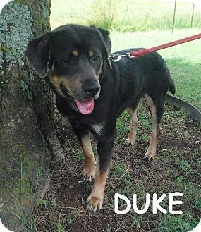 Rottweiler/Labrador Retriever Mix Dog for adoption in Batesville, Arkansas - Duke