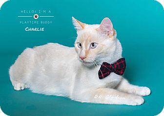Siamese Cat for adoption in Houston, Texas - Charlie