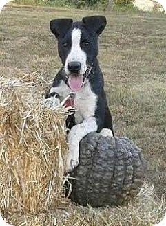Border Collie/American Bulldog Mix Puppy for adoption in Attalla, Alabama - Owen
