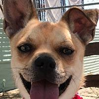 Adopt A Pet :: Snickers - Casa Grande, AZ