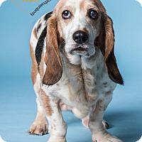 Adopt A Pet :: Lady - Midland, VA
