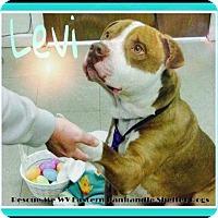 Adopt A Pet :: Levi - Rockville, MD