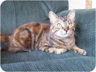 Domestic Shorthair Cat for adoption in Eagan, Minnesota - Giselle