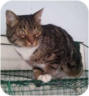 Domestic Shorthair Cat for adoption in Anchorage, Alaska - Bijou