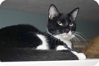 Domestic Shorthair Cat for adoption in New Port Richey, Florida - Scout