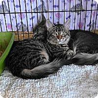 Adopt A Pet :: Tabbylicious - Morgan Hill, CA