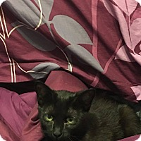 Domestic Shorthair Cat for adoption in Davison, Michigan - Opal