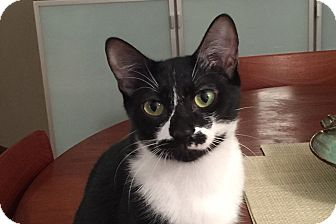 Domestic Shorthair Cat for adoption in New York, New York - Cuddly CIRQUE & SOLEIL'16