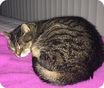 Domestic Shorthair Cat for adoption in Anchorage, Alaska - Daisy