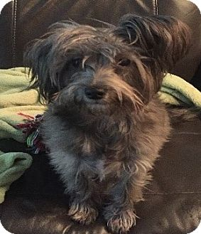 Terrier (Unknown Type, Medium) Mix Dog for adoption in Seattle, Washington - Nikki - Sweet Little Terrier Girl