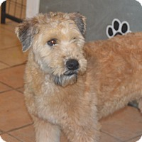 Adopt A Pet :: Will Wheaten - Prole, IA