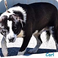 Border Collie/Labrador Retriever Mix Dog for adoption in Whiteville, North Carolina - Carl