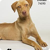 Adopt A Pet :: Dorado - Baton Rouge, LA