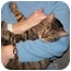 Photo 3 - Domestic Shorthair Cat for adoption in Milford, Ohio - Peggy