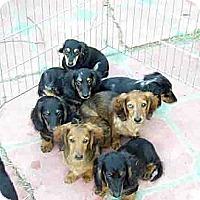 Adopt A Pet :: Long Hair Puppies - San Jose, CA
