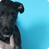 Adopt A Pet :: Blu - Chicago, IL
