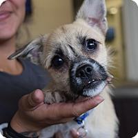 Adopt A Pet :: *Maggy - PENDING - Westport, CT
