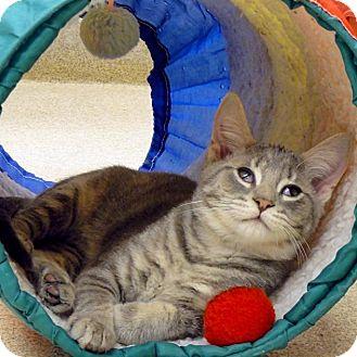 Domestic Shorthair Kitten for adoption in Naperville, Illinois - Albus