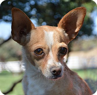 Chihuahua Mix Dog for adoption in Mountain Center, California - Tiki