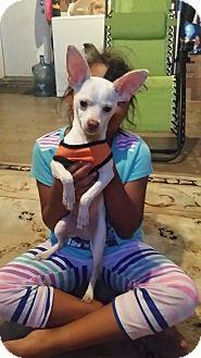 Chihuahua Puppy for adoption in Fullerton, California - Bingo