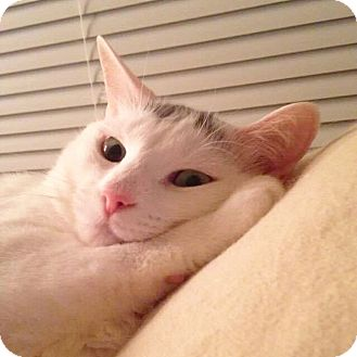 Domestic Shorthair Cat for adoption in Arlington/Ft Worth, Texas - Violet