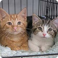 Adopt A Pet :: Pistachio - Merrifield, VA