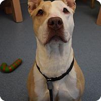 Pit Bull Terrier Mix Dog for adoption in Bay Shore, New York - Joy