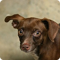 Dachshund Mix Dog for adoption in Canoga Park, California - Lucky