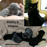 Adopt A Pet :: Ebony - Temecula, CA