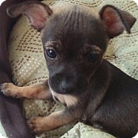 Adopt A Pet :: Pocket - Fort Collins, CO