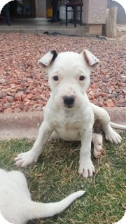American Pit Bull Terrier/Boxer Mix Puppy for adoption in Litchfield Park, Arizona - Spots - Only $95 adoption!