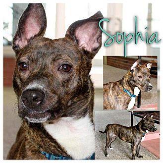 American Pit Bull Terrier Mix Dog for adoption in Garden City, Michigan - Sophia