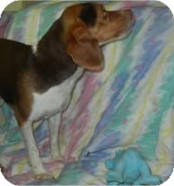 Beagle Mix Dog for adoption in Antioch, Illinois - Justin Beagler ADOPTED!!