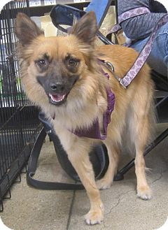 Keeshond/German Shepherd Dog Mix Dog for adoption in West Los Angeles, California - Dakota