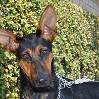 Adopt A Pet :: Cersai - Newport Beach, CA