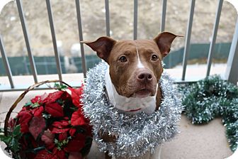 American Pit Bull Terrier/American Staffordshire Terrier Mix Dog for adoption in Warrenville, Illinois - Sable