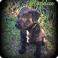 Adopt A Pet :: Maddox - Denver, NC