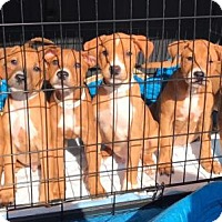 Adopt A Pet :: PUPPIES - Phoenix, AZ