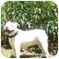 Photo 2 - Boxer/English Bulldog Mix Dog for adoption in Thomasville, Georgia - Georgia