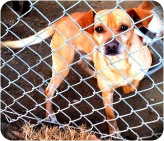 Chihuahua Mix Dog for adoption in Fowler, California - Mr. Sharpe