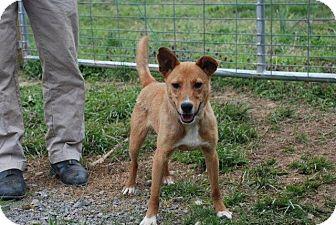 Sheltie, Shetland Sheepdog Mix Dog for adoption in Albany, New York - Oliver