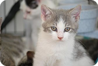 Domestic Shorthair Kitten for adoption in Trevose, Pennsylvania - Fisby